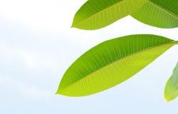 Folhas do Plumeria ou do Frangipani Fotografia de Stock Royalty Free