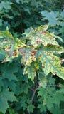 Folhas do ponto do leopardo Imagens de Stock Royalty Free