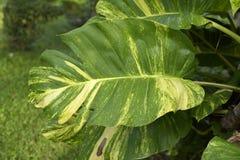 Folhas do Pothos no jardim, Tailândia Imagem de Stock