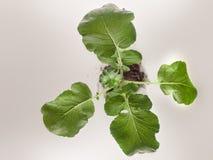 Folhas do rabanete no fundo branco foto de stock