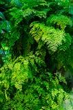 Folhas do raddianum do Adiantum da samambaia de Maidenhair foto de stock