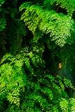 Folhas do raddianum do Adiantum da samambaia de Maidenhair fotografia de stock royalty free