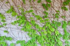 Folhas do rastejamento Fotografia de Stock
