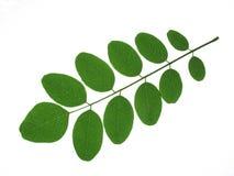 Folhas do Robinia Imagem de Stock