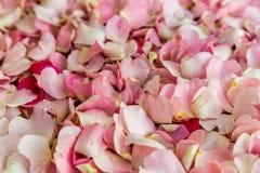 Folhas do rosa do fundo cor-de-rosa selvagem das flores, foco seletivo Imagens de Stock