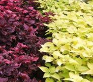 Folhas do roxo e do verde Fotografia de Stock