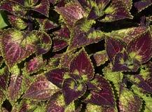 Folhas do roxo e do verde Imagem de Stock