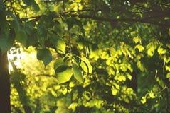 Folhas do ` s da castanha Fotos de Stock