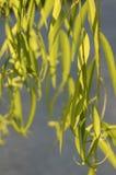 Folhas do salgueiro Fotografia de Stock