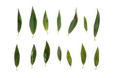 Folhas do salgueiro isoladas no fundo branco fotografia de stock royalty free