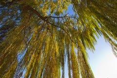 Folhas do salgueiro no por do sol Imagem de Stock Royalty Free
