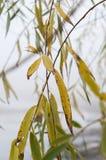 Folhas do salgueiro, outono, dia nevoento foto de stock royalty free
