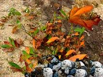 Folhas do Sassafras com rochas Fotografia de Stock Royalty Free