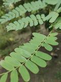 Folhas do tamarindo foto de stock