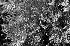 Folhas do Thuja com efeito do borrão em preto e branco Fotos de Stock Royalty Free