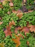 Folhas do trevo Fotos de Stock