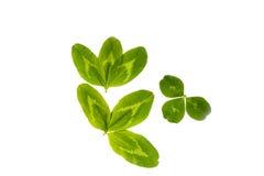 Folhas do trevo em um fundo branco imagens de stock