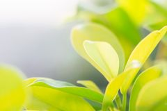 Folhas do trevo para o fundo verde com trevos três-com folhas fotos de stock royalty free