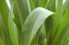 Folhas do Tulip Imagens de Stock