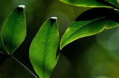 Folhas do verde Foto de Stock