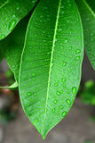 Folhas do verde. Imagem de Stock