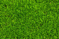 folhas do verde Imagens de Stock Royalty Free