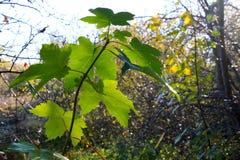 Folhas do verde antes que mudarem a cor fotografia de stock