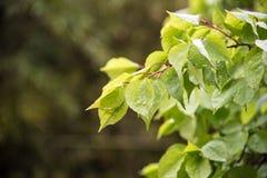 Folhas do verde após a chuva Imagens de Stock