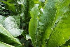Folhas do verde do armorácio Imagens de Stock