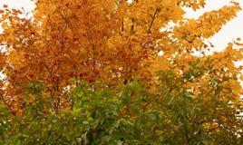 Folhas do verde, as amarelas e do vermelho imagem de stock