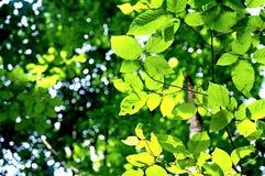 Folhas do verde com bokeh agradável Imagens de Stock Royalty Free