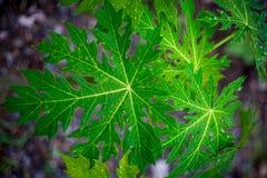 Folhas do verde com gota da água Fotografia de Stock Royalty Free
