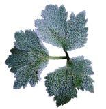 Folhas do verde com hoarfrost fotografia de stock royalty free