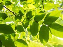 Folhas do verde com luz do sol Fotografia de Stock