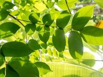 Folhas do verde com luz do sol Imagens de Stock Royalty Free