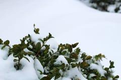 Folhas do verde congeladas na neve Foto de Stock
