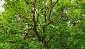 Folhas do verde da árvore de carvalho fotos de stock royalty free