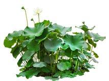Folhas do verde da árvore de lótus na lagoa isolada no fundo branco Imagem de Stock Royalty Free