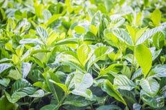 Folhas do verde da árvore no jardim Imagem de Stock Royalty Free