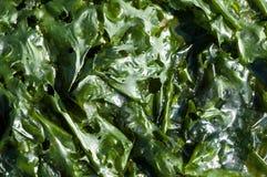 Folhas do verde da alface de mar Imagem de Stock Royalty Free