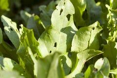 Folhas do verde da azeda imagens de stock