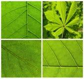 Folhas do verde da coleção Imagem de Stock
