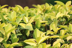 Folhas do verde da fotografia da natureza Fotos de Stock