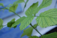 Folhas do verde da framboesa em um arbusto foto de stock royalty free