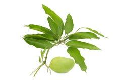 folhas do verde da manga isoladas no fundo branco Imagens de Stock