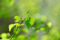 Folhas do verde da mola Fotografia de Stock