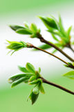 Folhas do verde da mola fotos de stock