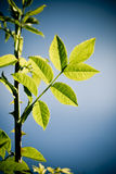 Folhas do verde da mola Fotografia de Stock Royalty Free