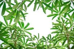 Folhas do verde da mola que quadro o fundo Imagens de Stock