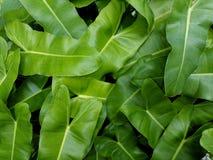 Folhas do verde da natureza Foto de Stock
